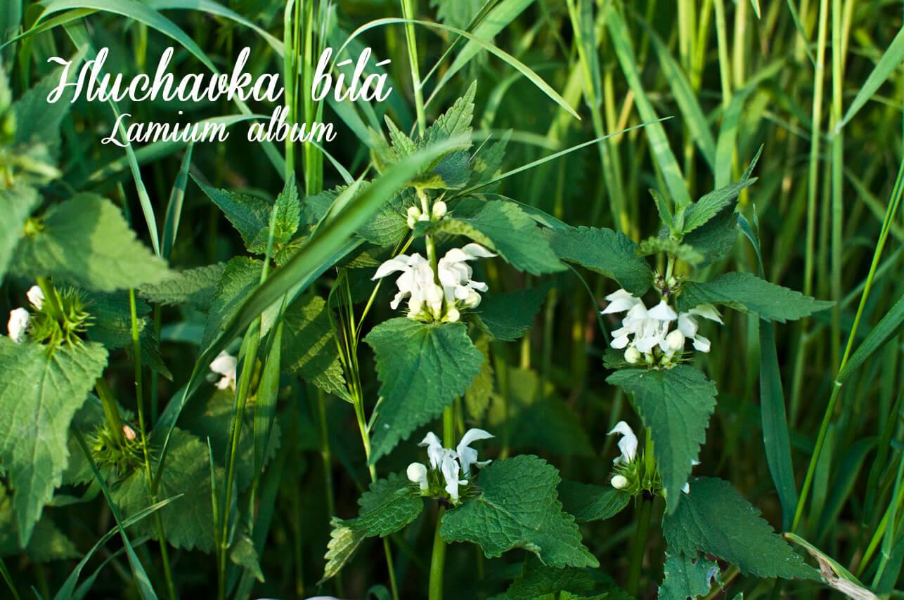 Hluchavka bílá - herbs