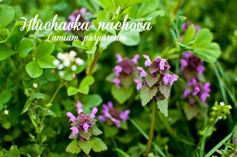 Lamium purpureum - herbs
