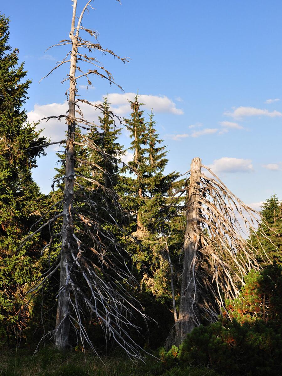 uschlé stromy
